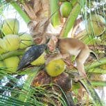 Monkeys In Thailand Are Treated Like Slaves To Harvest Coconuts