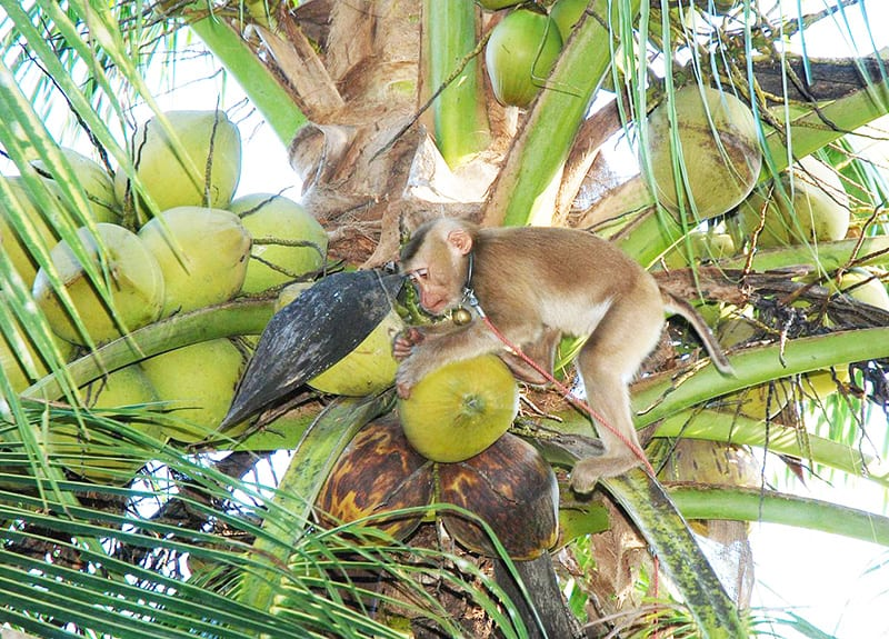 Monkeys In Thailand Are Treated Like Slaves To Harvest Coconuts |  Cruelty-Free Kitty